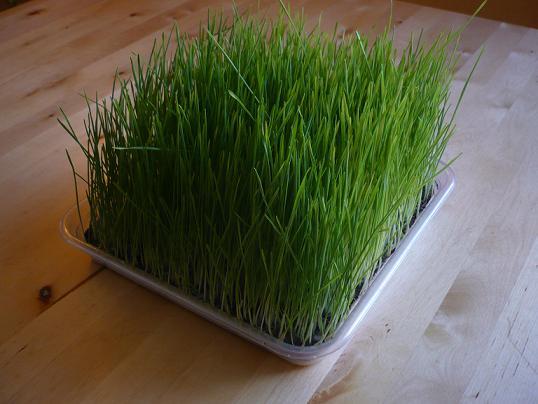 jus d 39 herbe de bl cure de 6 jours avec achat des plateaux. Black Bedroom Furniture Sets. Home Design Ideas